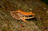 Dark-sided Frog (Rana nigrovittata)