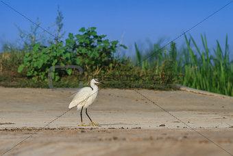 little egret (egretta garzetta)