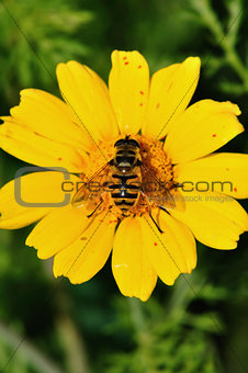 bee wings with pollen grains