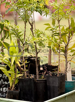 Australian tubestock native nursery plants