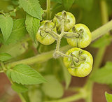 Organic immature green tomatoes