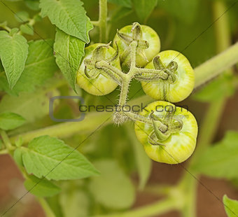 Organic immature green tomatoes