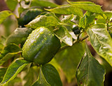 Fresh green produce growing capsicum
