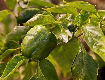 Fresh green produce growing capsicum