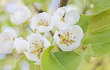 Spring cherry tree; close-up, garden floral design, decoration f