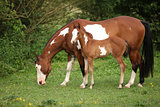 Paint horse mare with adorable foal