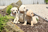 Adorable labrador retriever puppies sitting in line