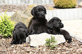 Three black labrador retriever puppies