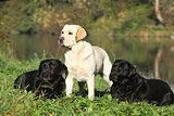 Three labrador retriever in front of the water