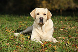 Beautiful labrador retriever lying
