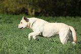 Creme Labrador retriever running