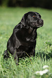 Beautiful labrador retriever sitting down