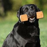 Beautiful labrador retriever holding a toy