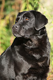 Portrait of beautiful black labrador retriever in nature