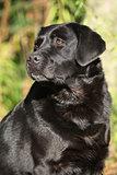 Portrait of beautiful black labrador retriever in nature