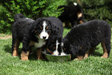 Three Bernese Mountain Dog puppies drinking