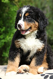Bernese Mountain Dog puppy sitting