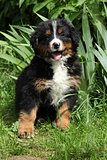 Bernese Mountain Dog puppy sitting in the garden