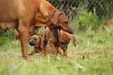 Rhodesian ridgeback bitch with puppy