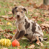 Louisiana Catahoula puppy in Autumn