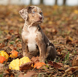 Louisiana Catahoula puppy with pumpkins in Autumn