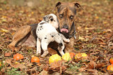 Louisiana Catahoula dog playing with puppy