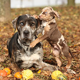 Louisiana Catahoula dog with adorable puppy