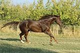 Perfect brown quarter horse
