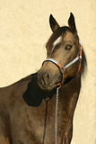 Portrait of perfect quarter horse