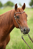 Nice Quarter horse stallion with western bridle