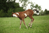 Nice Paint horse filly running on pasturage