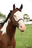Portrait of nice Paint horse mare