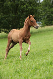 Filly of sorrel solid paint horse running