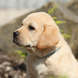Portrait of beautiful labrador retriever puppy