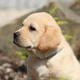 Portrait of beautiful labrador retriever puppy