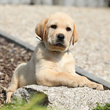 Adorable labrador retriever puppy lying on a stone