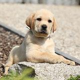 Adorable labrador retriever puppy lying on a stone