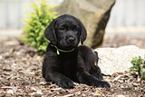 Black labrador retriever puppy lying