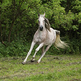 Arabian mare running in front of green background