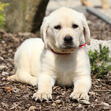 Gorgeous labrador retriever puppy looking at you