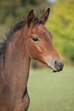 Portrait of brown foal in autumn