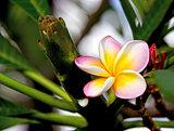 frangipanis or plumeria