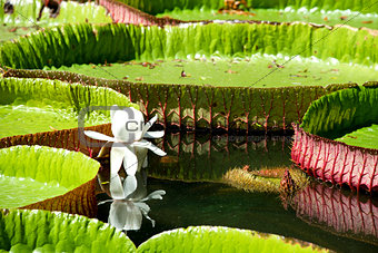 Water-lily, Nenuphar