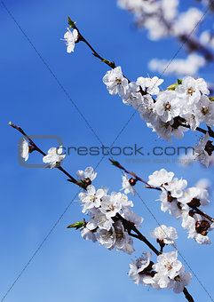 Blossoming cherry on a background of blue sky