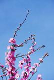 Pink cherry  japanese blossom