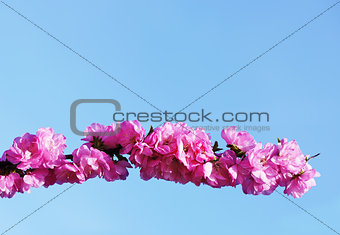 blooming  japanese cherry on blue sky background