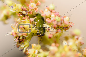 Green bug in the flower