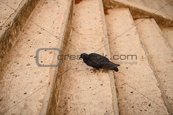 Black pigeon on the staircase