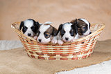 Four Papillon puppy in a wicker basket