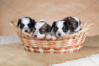 Four Papillon puppy in a wicker basket